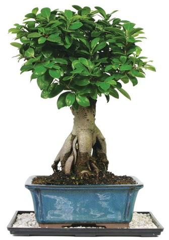 Bonsai Ginsing Grafted Ficus Bonsai  Ankara batıkent çiçek yolla
